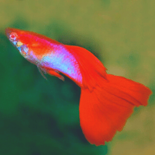 Japan Blue Red Tail Albino Guppy Breeder Pair (Poecilia reticulata) for sale online