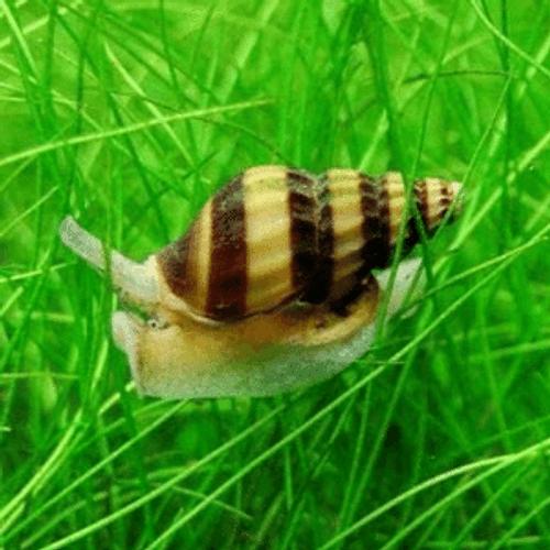 Assassin Snail (Anontome helena)