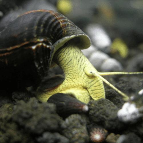 Yellow Rabbit Snail (Tylomelania sp. Yellow Rabbit)