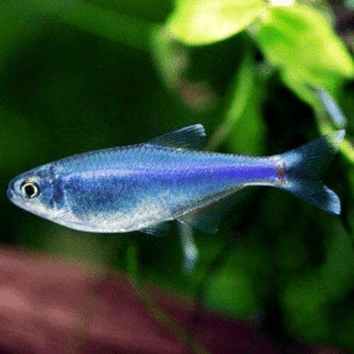 Cochu's Blue Tetra (Boehlkea fredcochui)
