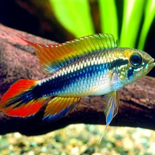 Agassizzi Double Red Dwarf Cichlid (Apistogramma agassizii var Double Red) for sale online at our amazing online Tropical Fish Store