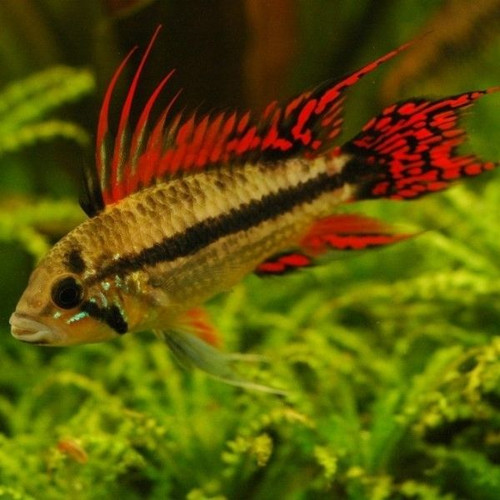 Double Red Cockatoo Dwarf Cichlid (Apistogramma cacatuoides var. double red)