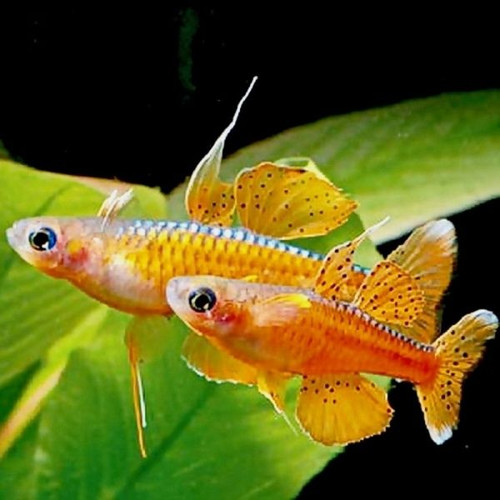 Red Neon Blue Eye Dwarf Rainbowfish (Pseudomugil luminatus)