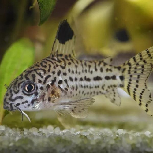Julii Cory Catfish (Corydoras julii)