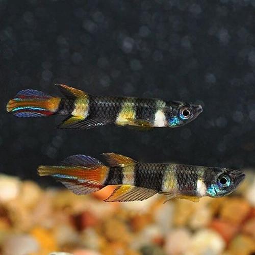 Clown Killifish (Epiplatys annulatus)