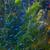 Cardinal Tetra *Czech Tank-Bred* (Cheirodon axelrodi) Cardinal Tetras For Sale Online