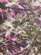 Mulga Lands Pink