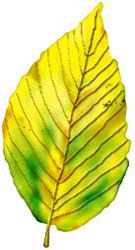 leaf-yellow-birch.jpg