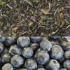 Blueberry Flavored White Tea