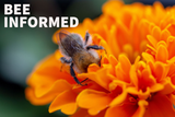 Bee Informed: Attract Pollinators, Bee-Friendly Farming, and Murder Hornets