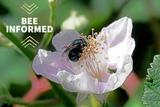 Bee Informed: Bee Diversity Decline, Value of Wild Bees, and Benefits of Sweat Bees