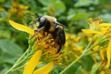 Messing with the Microbes within their Hive-Stored Pollen Hurts Bumble Bees