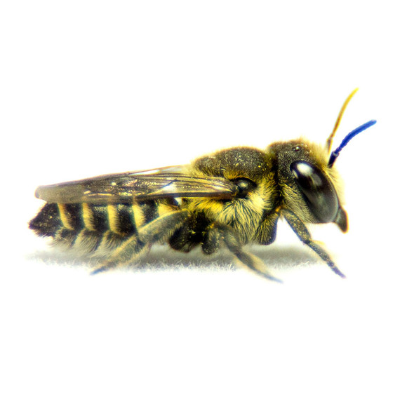 Leafcutter Bee on white