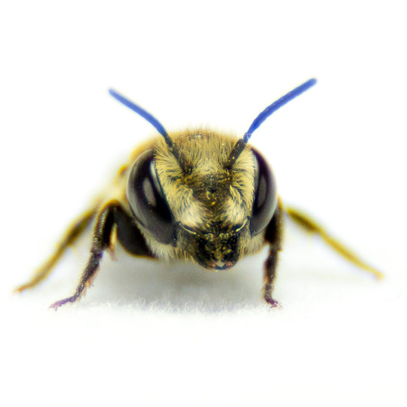 Leafcutter Bee front