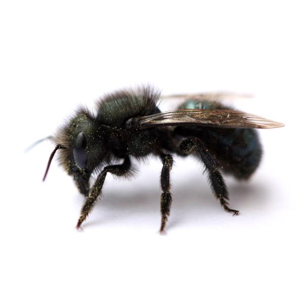 Spring Mason Bees - 20 ct