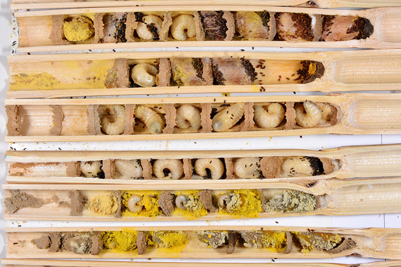 Opened nest reeds showing the different life stages of mason bee development with eggs in the lowest reed and fully formed cocoons in the top right. The small black pellets are frass (poop). (Image: © Gilles San Martin, Flickr)