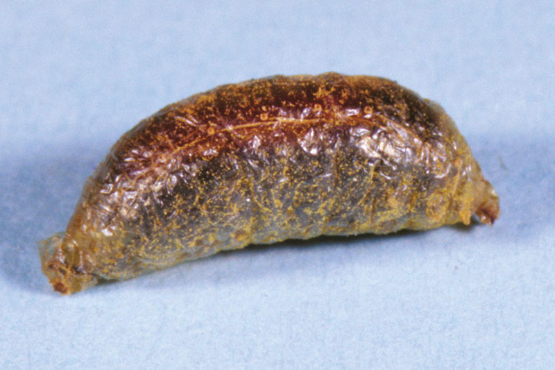 blister-beetle-cocoon