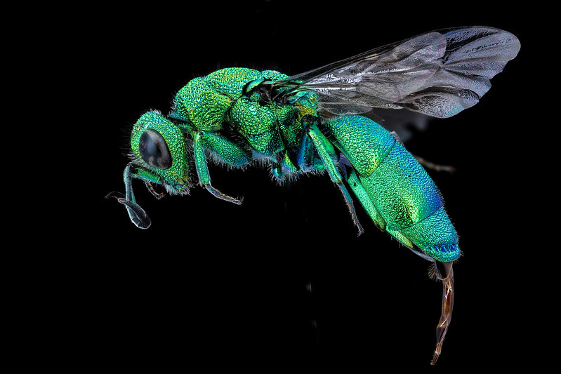 chrysidid-wasp-usgs-bee-inventory-flickr