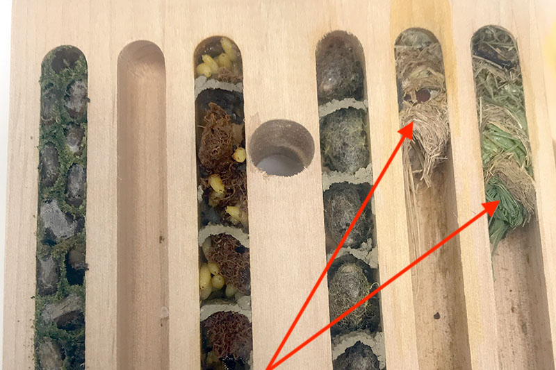 Grass from grass carrying wasp inside nesting chamber