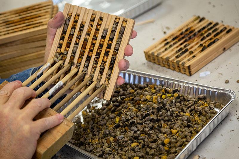 harvest-mason-bee-cocoons.jpg