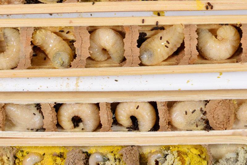 Healthy Mason Bee Brood