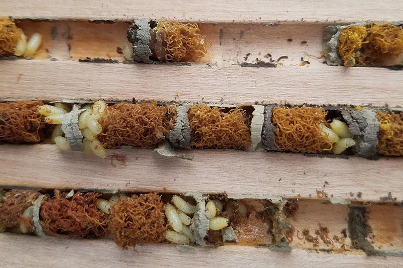 Houdini fly larvae infested mason bee nesting chamber