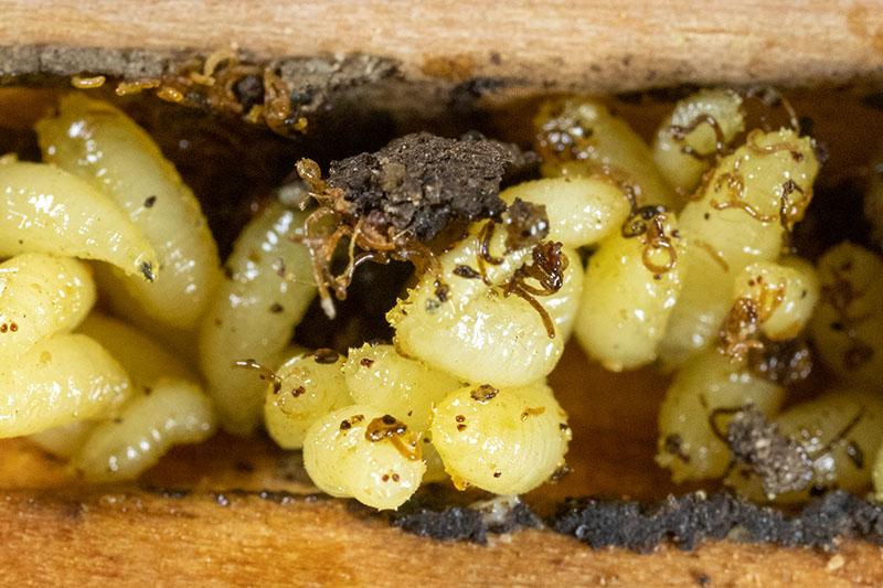 houdini-fly-larvae