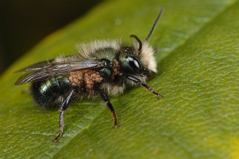 mason-bee-with-pollen-mites-frog-pond-photography