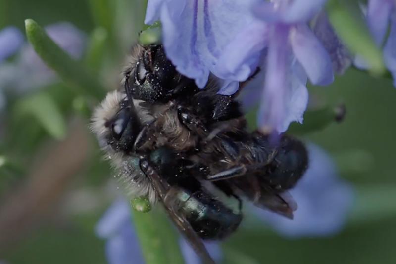 mason-bees-mating.png