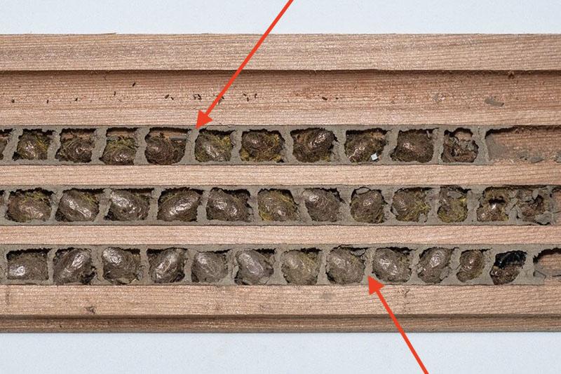Mud walls inside mason bee nesting chamber