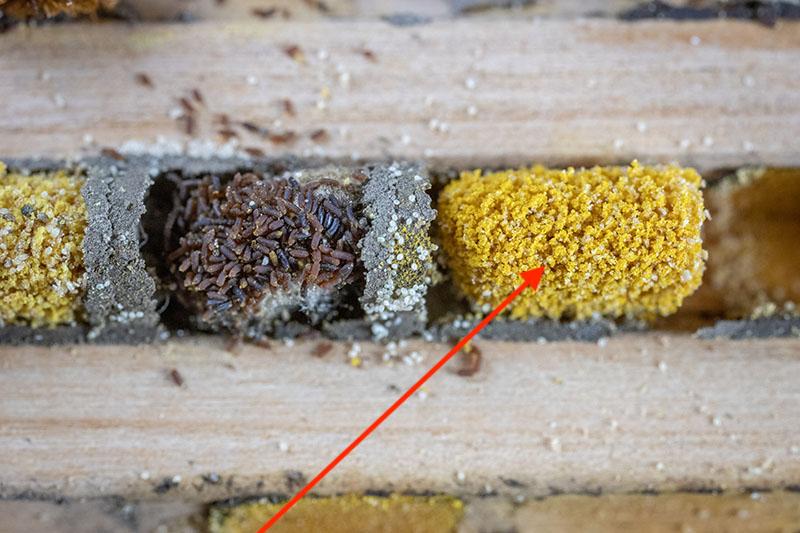 Pollen mites inside nesting chamber