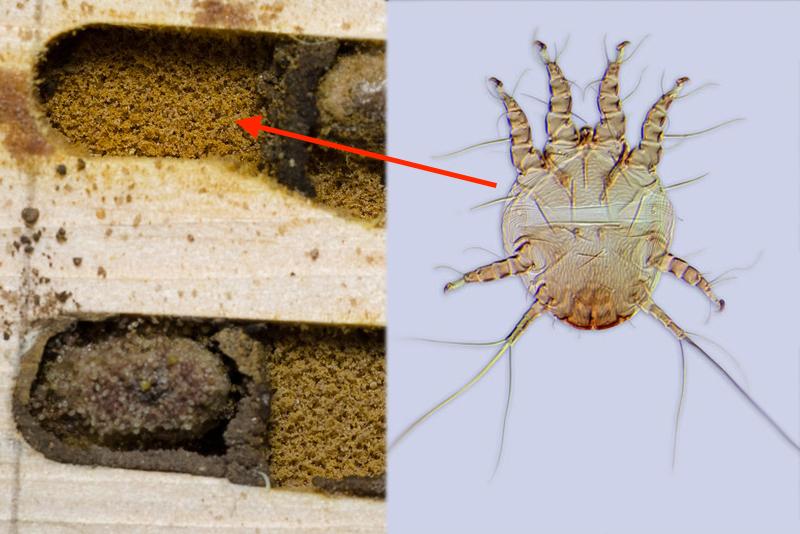 Pollen Mites