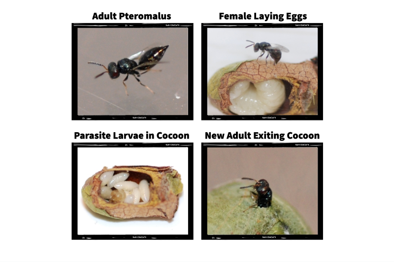Pteromalus Wasp