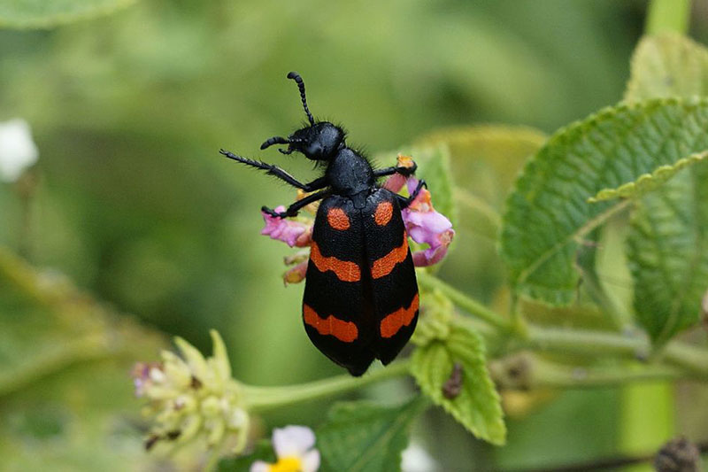 red-blister-beetle