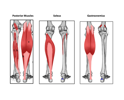 How to Stretch and Strengthen the Calf Muscles (Gastrocnemius and Soleus Muscles)