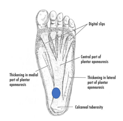 What is the Plantar Fascia Muscle?