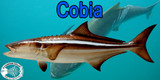 Best Knives to Fillet a Cobia