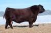 Red Cockburn Ribeye 308U