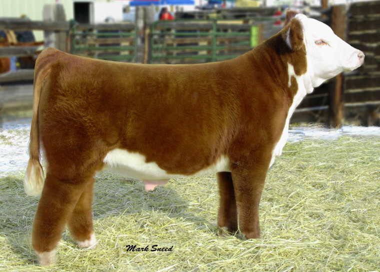 Extremely popular Denver display bull. Here is one who can truly cover all the bases. First calf reports are awesome!