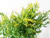 Solidago Box