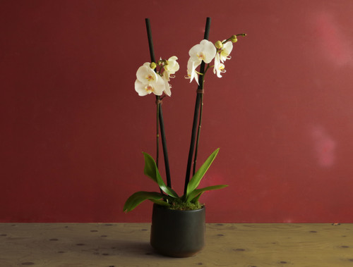 Orchid Bowl - Same Day Delivery