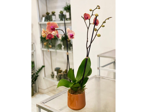 Pink Orchid - Same Day Delivery