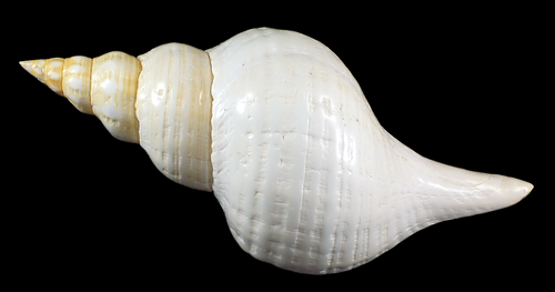 Polished Horse Conch