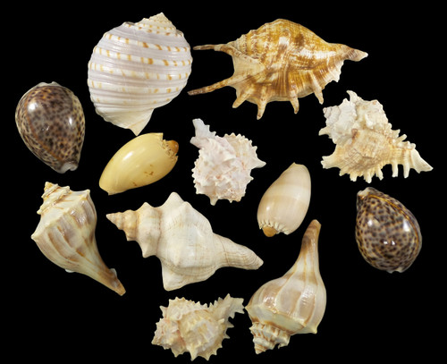Assorted Large Shells