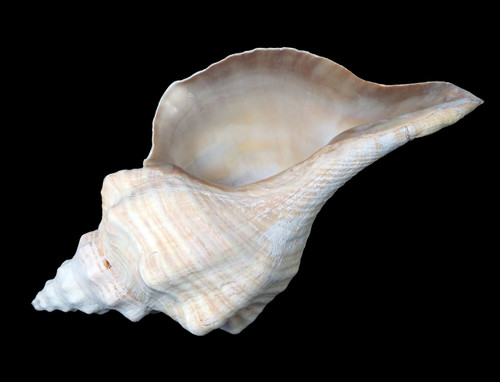 Horse Conch