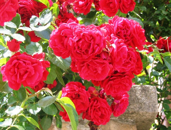 There's nothing like a Bulgarian rose = beautiful, fragrant, and producing a very valuable oil prized all over the world.