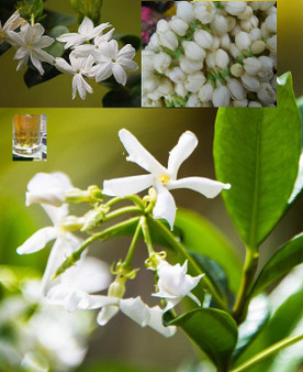 Indian Jasmine Oil 30 ml (with free DHL express shipment)