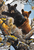 "Carl Brenders; ""High Adventure - Black Bear Cubs"" Zoom"