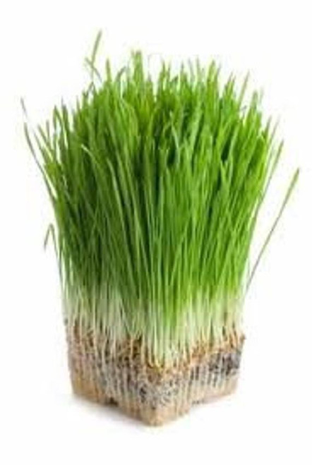 "Luc's Organic Wheat Grass Growing Kits - Two 8"" kits"