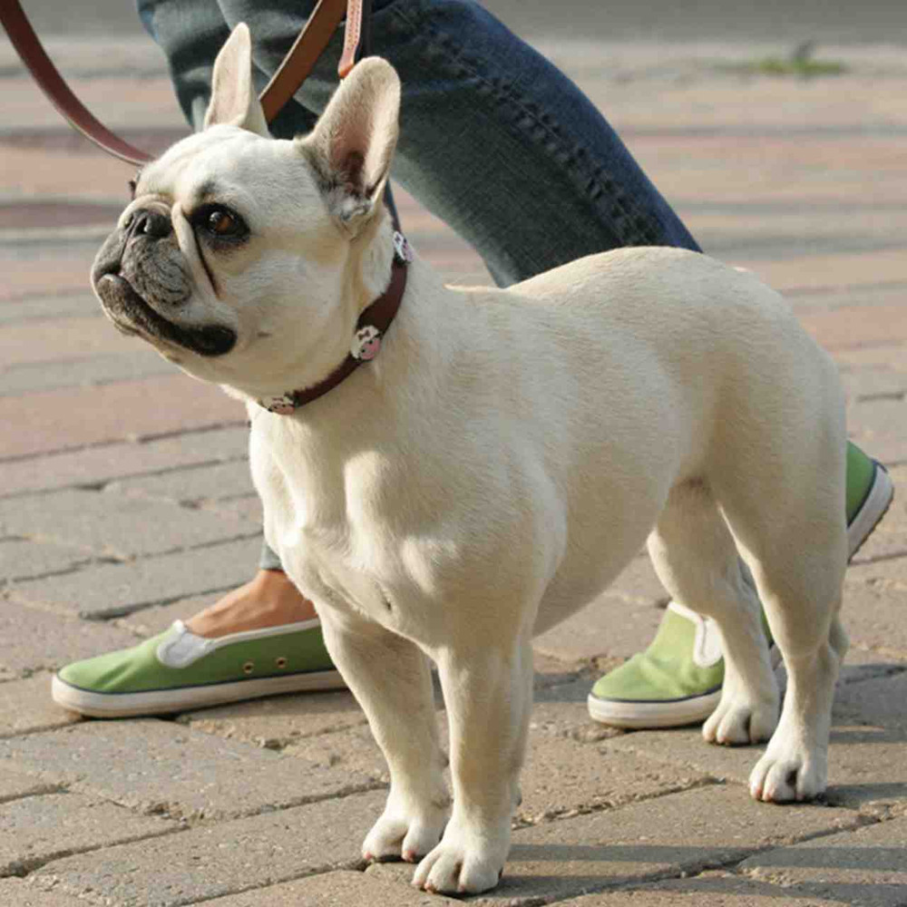 Frenchie with brown leather leash